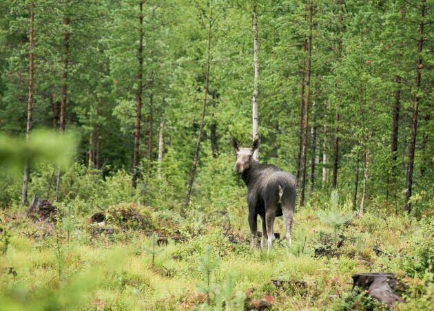 Skogsstyrelsen försvarar sin metod för att mäta betesskador. Arkivbild.