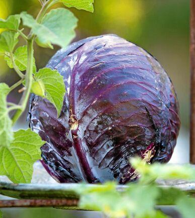 Rödkål 'Langedijker Bewaar 2' producerar vackert djupröda huvuden som passar utmärkt för lagring. Finstrimlade blad är goda i sallader. Så inomhus i april-maj. Ekofrö. Nelson Garden.