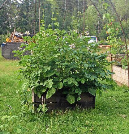 Potatis i en odlingslåda full med solkomposterad näring.