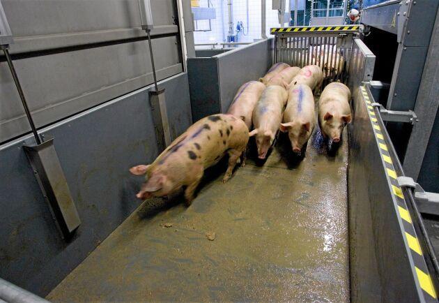 Efterfrågan på danska grisar håller i sig.