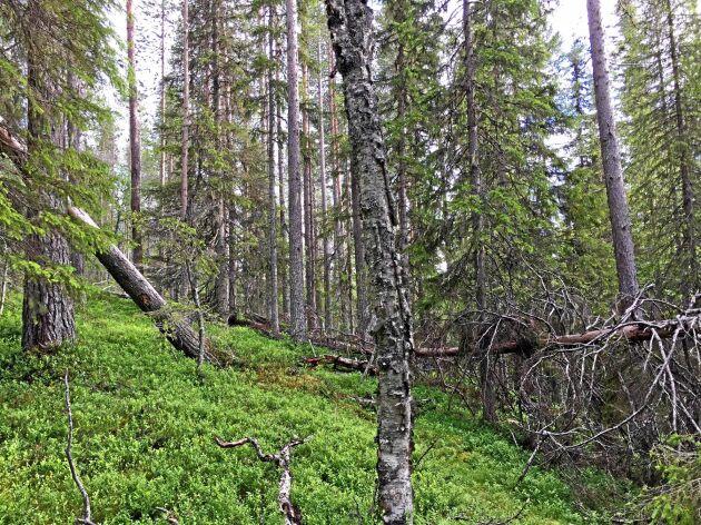 Naturskyddsföreningen menar att skogen i Njuöniesvarrie utanför Sorsele som Sveaskog vill avverka har så höga naturvärden att den bör skyddas.