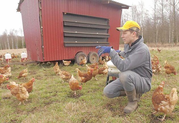 Varje morgon runt varje hönshus hägnar Daniel Hägerby in ett 625 kvadratmeter stort område, där hönorna hittar mat.