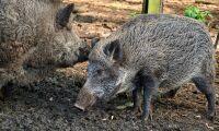 EU förklarar Tjeckien fritt från afrikansk svinpest