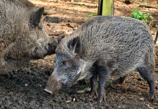 Tjeckien har inte haft ett enda fall av afrikansk svinpest sedan i april 2018. Därför är landet nu fritt från afrikansk svinpest, enligt EU.