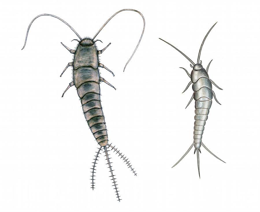 """Den nya silverfisken, till vänster, är både större och """"borstigare"""" än den vanliga till höger."""