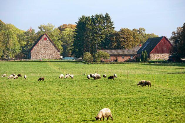 Vilsamt att se gårdens får beta på gröna ängar.