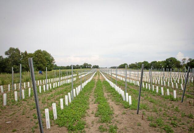 Den nya planteringen omfattar totalt fyra hektar.