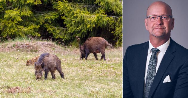 Vildsvinsstammen måste minskas, anser Magnus Oscarsson, talesperson i jordbruks- och landsbygdsfrågor för KD.