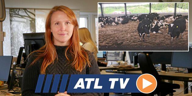 ATL TV: Korna trivs på tjock sandbädd