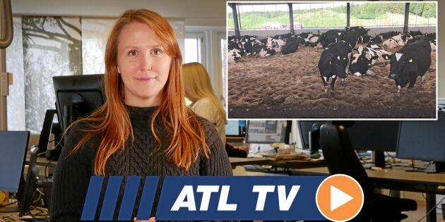 Veckans bästa från ATL TV: Plöjningsfritt och kor på sand