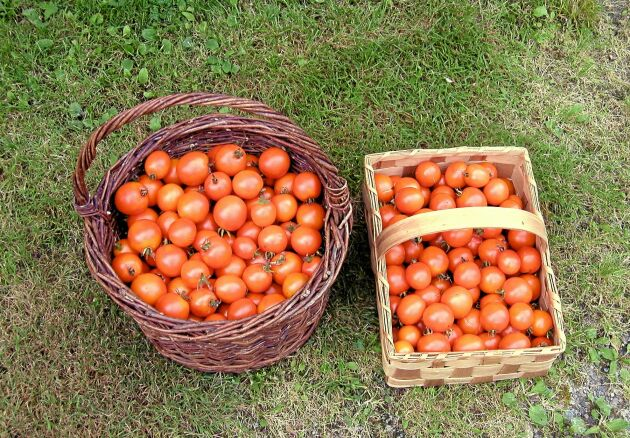 Tomat 'Jaune de Flamme' är en gammal fransk, hög sort som sägs vara en av de godaste. De aprikosfärgade frukterna är söta och saftiga. Så inomhus i februari-mars för plantor till växthus och i mars-april för utplantering på friland i skyddat läge. Ekofrö. Runåbergs fröer.