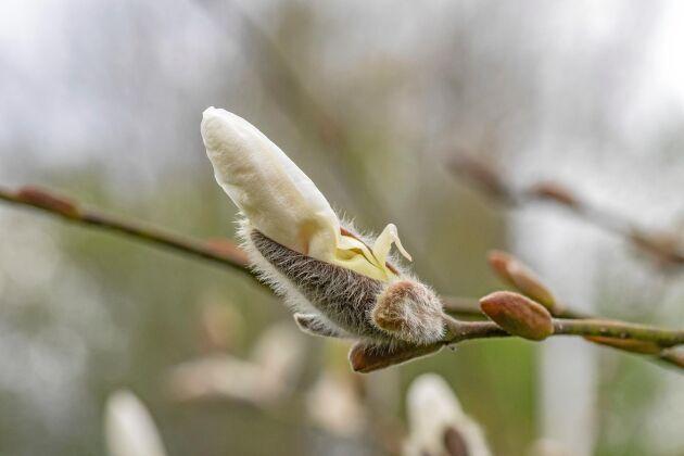 Knopparna på japansk magnolia 'Norman Gould' som ser ut som stora videkissar.
