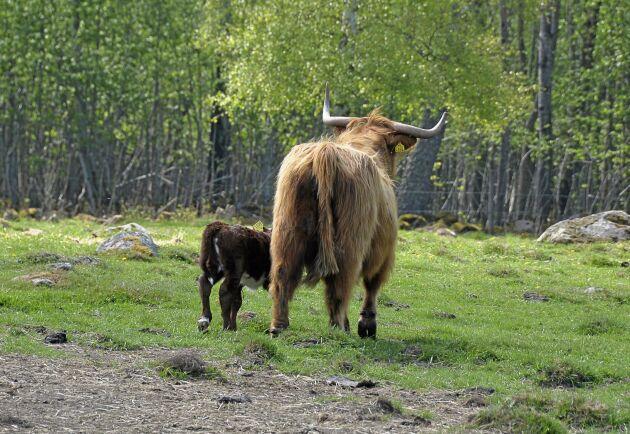 När kalven är återbördad och märkt lugnar mamma ko ned sig.