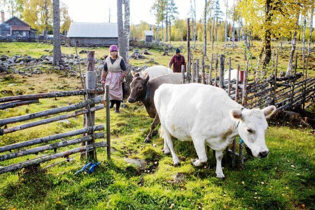 Visst kan du möta kändisar i Land men främst är det vardagsfolkets äventyr och idéer som skildras. Yvonne och Ove på Kättboåsens fäbod.