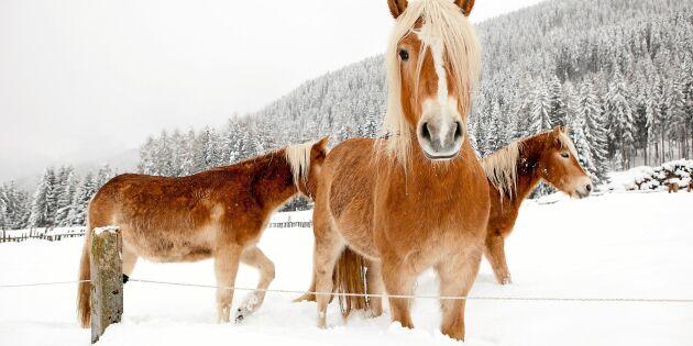 Fruktat hästvirus sprider sig i Sverige – nu ställs tävlingar in