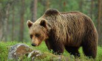 Misstänks för grovt jaktbrott efter björnåtel