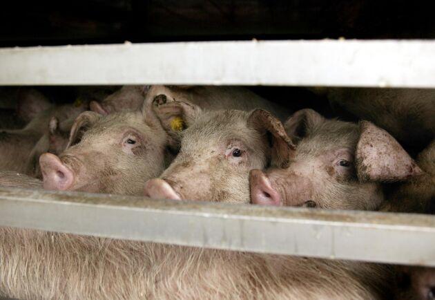 En chaufför döms för att ha utsatt grisar för lidande under en transport till slakteriet. Två grisar dog av värmeslag. Arkivbild.