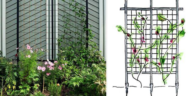Bygg en spaljé för klättrande växter – här får du beskrivningen