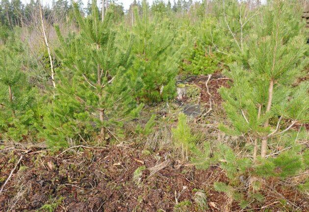 Ismo Melakari frösår alltid mellan plantorna. Det ger fler möjligheter men visar också skillnaden mellan förädlade plantor och beståndsfrö.