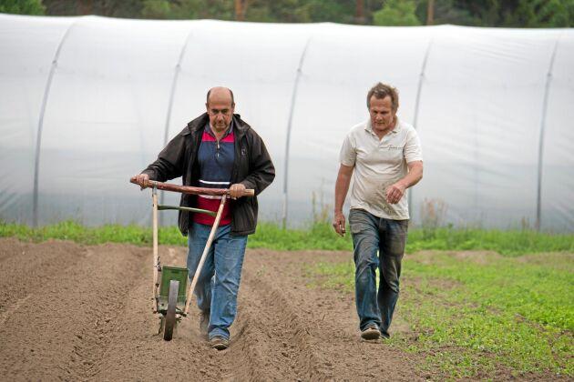 Raka rader. Olle Göransson, grönsaksodlare på Torfolk gård, instruerar Abdul Hakim Hamsho i morotsådd.