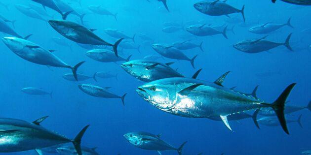 Jättelika tonfiskar åter i svenska vatten – fiskare fångade dem på film!