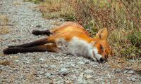 Död räv i fodret dödade 35 mjölkkor