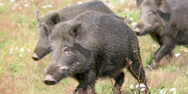 Afrikansk svinpest allt närmare Tyskland