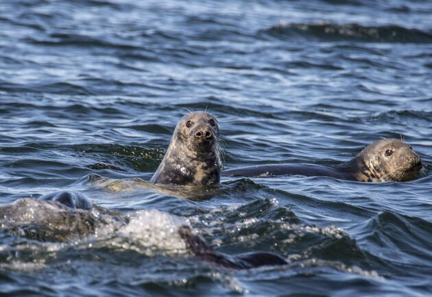 För att få avlossa skott mot säl från båt kräver Naturvårdsverket att jägaren ska ha genomgått säljaktsutbildning.