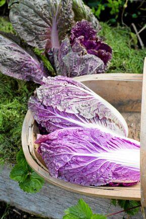 Salladskål 'Scarvita' F1 får spröda och krispiga, lila blad som passar i sallader och wooker. Den vackra färgen bevaras även efter tillagning. Så på friland från och med juni eller förodla i maj. Nelson Garden.