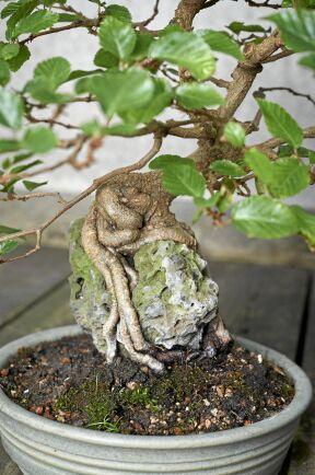 Rot över sten kallas den här stilen. Här har Maria Arborelius fått en avenboks rötter att omfamna en sten på vägen ner mot jorden i krukan.