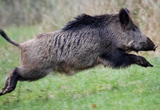 Fem nya misstänkta fall av afrikansk svinpest hos vidsvin i Tyskland utreds nu. Arkivbild.