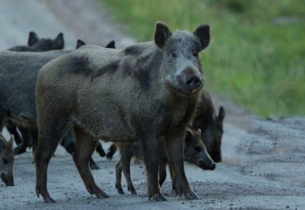 Antalet fall av afrikansk svinpest har exploderat i Polen under första halvåret i år och finns både hos vildsvin och tamsvin.