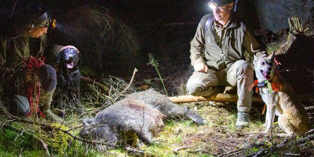 300 jägare i samlad kamp mot vildsvinen