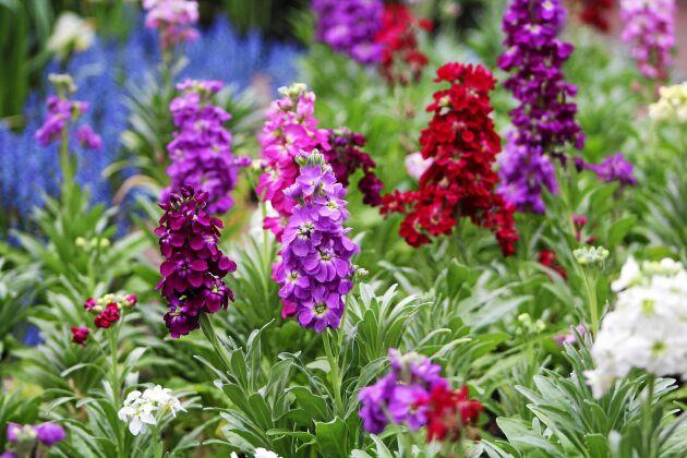 Sommarlövkojan bjuder på doft och mycket färg.