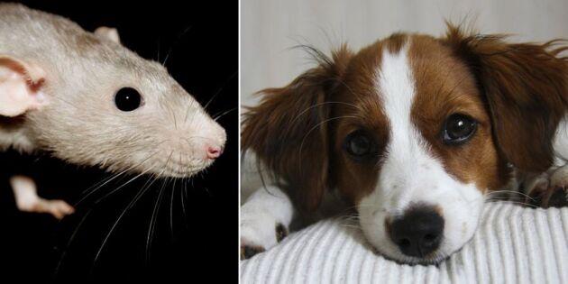 Dubbelt så många hundar förgiftas av råttgift