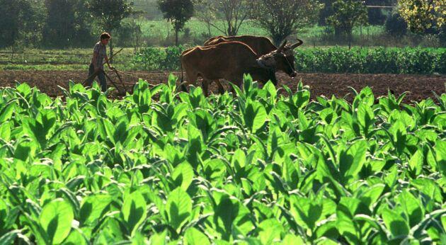 """Forskare vid universitetet i Illinois har skapat """"supertobaksplantor"""" genom att knäcka växternas fotosyntes. På bilden syns vanliga tobaksplantor. Arkivbild."""