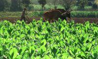 Knäckt fotosyntes ska ge produktivare grödor