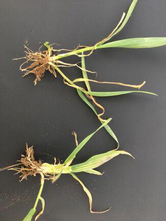En skadad höstveteplanta liknar en purjolök. Överst en normal höstveteplanta.
