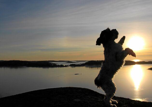 Vacker tass. Husse Jonas Jung, Arild, skulle ta motljusbilder i Bohuslän och bad Elsa, 1,5 år, sitta fint. När han kikade igenom bilderna dök den här upp, där den vältränade cockerpoon håller solen mellan tassarna.