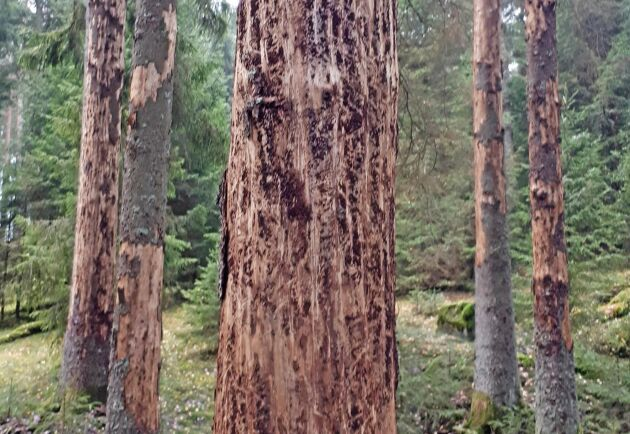 Hur lång tid det tar från angrepp till barkfall beror bland annat på vilken typ av blånadssvamp barkborrarna för med sig.