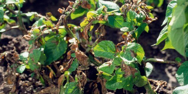 Så undviker du (och blir av med!) bladmögel på tomat och potatis