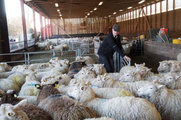 Norrby gård är en av Sveriges största fårgårdar med runt tusen djur. De flesta fårbönder har mycket mindre besättningar.