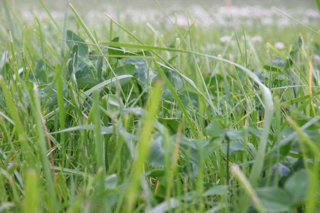 Gröna proteiner som klöver är en möjlig utväg att skapa högvärdigt proteinfoder för att ersätta sojamjöl men än så länge har förädlingen en bit kvar.