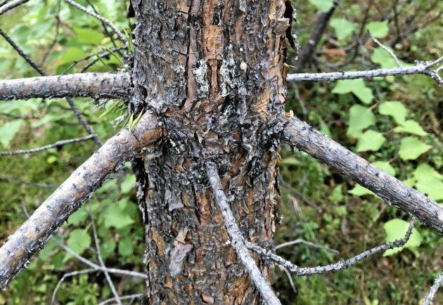 Törskatesvamp angrepp skapar sår i stammen när angreppet sprider sig från barren på grenarna.