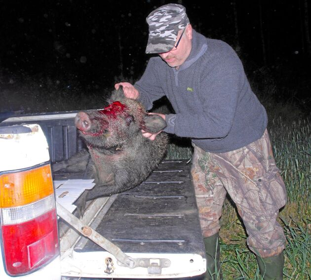 Leif Hellman jagar vildsvin utan hund och åtel.