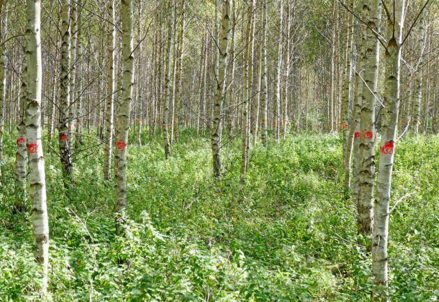 Tack vare bra priser för höga kvaliteter kan björk vara ett ekonomiskt konkurrenskraftigt alternativ till gran på jordbruksmark i Lettland. Det 14-åriga björkbeståndet har en höjd på lika många meter.