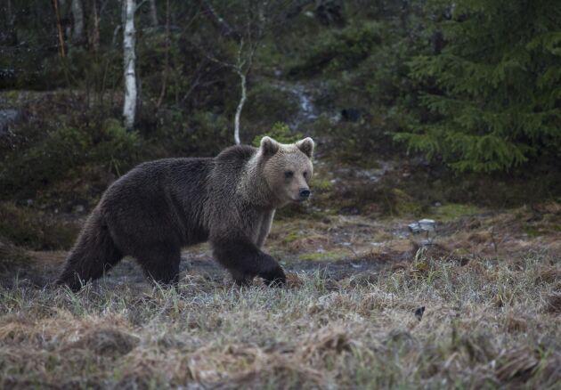 Möten med björn har blivit ett arbetsmiljöproblem.