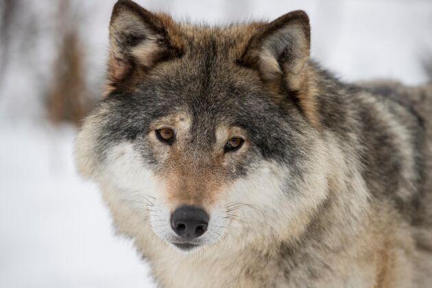 En varg har skjutits utanför Sorsele sedan länsstyrelsen i Västerbottens län beslutat om skyddsjakt. Vargen på bilden har inget med texten att göra.