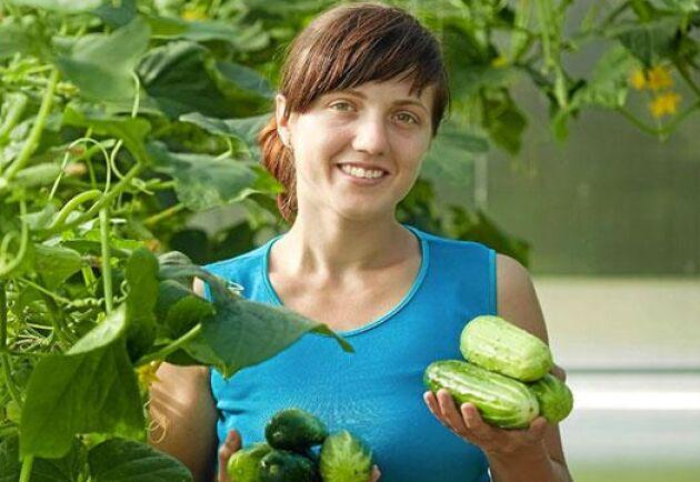 Slanggurkan måste inte ätas direkt. Den går att spara till vintern som egentillverkad gurkmix, också kallad bostongurka.