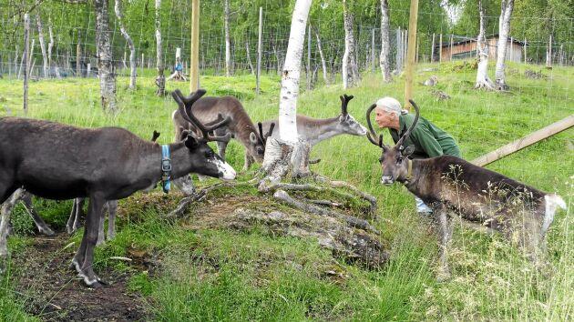 Ingrid tycker om sina renar, och renarna om henne. Hon och sambon Ronny har tagit upp den samiska traditionen att göra renost.